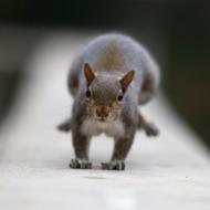 Beware the Chicago Squirrel